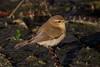 189.jpg (Kico Lopez) Tags: mosquiterocomún miño lugo aves galicia birds phylloscopuscollybita spain rio