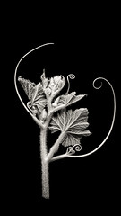 Baby pumpkin (JaniceNZ) Tags: bnw pumpkin blackbackground leaves tendrils texture symmetry monochrome