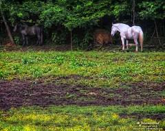 White Horse, Black Horse?, Helen, Ga (PhotosToArtByMike) Tags: helengeorgia helen georgia ga horsefarm horse alpinehelen alpinevillage german bavarian alps chattahoocheeriver bavarianvillage mainstreethelen alpinearchitecture shoppingvillage georgiaroute75