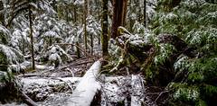 Old Growth Forest (rich trinter photos) Tags: mountrainier winter ashford washington unitedstates us landscape snow oldgrowth forest trinterphotos