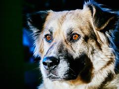 3/52 – the storm (stephubik) Tags: candork 52weeksfordogs dog portrait