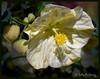 Flowering Maple (Literiter) Tags: flowering maple
