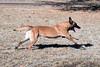 DSC_0003 (Charlotte Hoberg) Tags: german shepherd belgian malinois mondioring ipo schutzhund dog dogs cute training black fawn while rottweiler pit bull boxer lab labrador