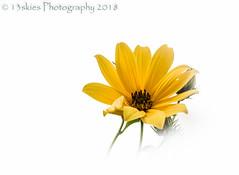Immune (13skies) Tags: flower negativespace yellow dreams petals white bloom growth growing burst sun bright highkey sundaylights