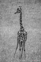 Jirafa (Jabi Artaraz) Tags: jirafa jabiartaraz jartaraz animal animals