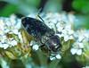 Jewel-beetle Diphucrania oblonga (Simon Grove (TMAG)) Tags: tasmania tmagzoology tasmanianmuseumandartgallery insecta coleoptera buprestidae diphucrania