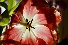 Gegenlicht (ingrid eulenfan) Tags: blume flower makro macro 7dwf gegenlicht