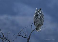 Nautical Twilight (slsjourneys) Tags: greathornedowl owl herefordaz