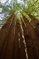 Cathedral (mj.pix671) Tags: cathedral trees redwoods avenueofgiants