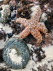 Anemone and Starfish at Asilomar Beach (skylarprimm) Tags: ✓ anemone beach california monterey nature pacific pacificocean starfish