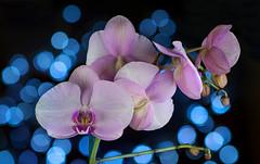 Orchid Bokeh (runcolt12) Tags: orchid bokeh flower wildflower lights studio houston texas christmaslights dof depthoffield nikon d800e