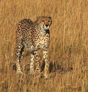 Cheetah in the Masaï Mara - Kenya