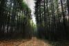 Forest path... (Hasan Yuzeir 📷) Tags: forest tree path road pine hasanyuzeir canon 1300d sun sunshine light