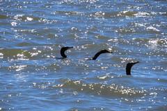 Mergulhões (Eliana Lúcio) Tags: água water reflexos brilho mergulhão ave