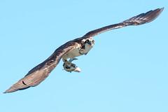 Osprey (tcmealy) Tags: osprey meadowbrook park wildlife urbanwildlife urban fish fishing nature wings catch seattleparks seattle seattlewildlife
