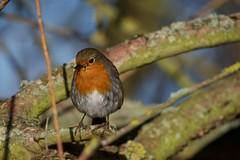 Robin (Erithacus rubecula) (jhureley1977) Tags: robin erithacusrubecula birds birding birdsofbritain britishbirds ashjhureley avibase naturesvoice bbcspringwatch rspbbirders ashutoshjhureley rspb stockerslake rickmansworth