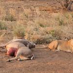 Lioness_killing thumbnail