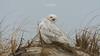 Snowy Owls of New Jersey | 2018 - 15 (RGL_Photography) Tags: beachowl birding birds birdsofprey birdwatching buboscandiacus gardenstate jerseyshore mothernature nature newjersey nikonafs600mmf4gedvr nikond500 oceancounty ornithology owls raptors snowyowl us unitedstates wildlife wildlifephotography