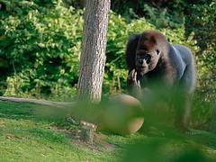 Ont joue (Ptit Scarabée) Tags: gorille panasonic gf7 lumix