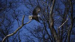 The Eagle Has Landed #8 (Keith Michael NYC (4 Million+ Views)) Tags: mountloretto mountlorettouniquearea statenisland newyorkcity newyork ny nyc baldeagle