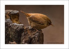 Wren  (Troglodytes troglodytes) Pennington Country Park, Lancashire (prendergasttony) Tags: wren bird avian rspb nature wildlife nikon d7200 tonyprendergast outdoors pennington lancashire england countrypark