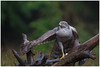 Northern Goshawk (female) - Havik (vrouw) (Accipiter gentillis) ... (Martha de Jong-Lantink) Tags: 2018 accipitergentilis boshut havikvrouw northerngoshawkfemale vogel vogelhut vogels