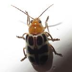 Chrysomelidae; 20170517; PA-Colón-Gamboa thumbnail