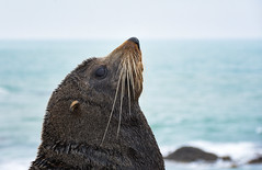 (M J Adamson) Tags: furseals seals mammals marinemammals katikipoint moeraki northotago nz newzealand nature