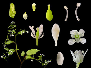 Brassicaceae Cochlearia formosana
