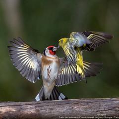 Tarin des aulnes et Chardonneret élégant (gilbert.calatayud) Tags: cardueliscarduelis carduelisspinus chardonneretélégant eurasiansiskin europeangoldfinch fringillidés passériformes tarindesaulnes bird oiseau busque tarn