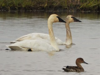I photographed a rare trumpeter swan, and didn't realize it for a month!