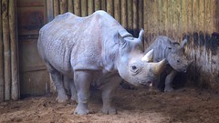 Mum and Baby (TERRY KEARNEY) Tags: chesterzoo cheshire chester animal animals rhino rhinoceros eastafricanblackrhinoceros east african blackrhinoceros canoneos1dmarkiv day explore europe england flickr kearney nature oneterry outdoor portrait terrykearney wildlife 2018 rhinochesterzoo