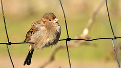 Spatz im Zaun (karinrogmann) Tags: spatz haussperling passero sparrow