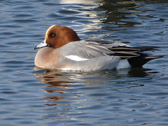 Wigeon (Deanne Wildsmith) Tags: earthnaturelife wigeon duck bartonmarina staffordshire