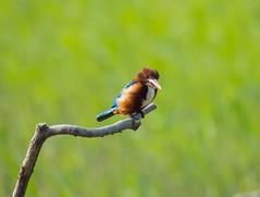 Alcedo (edwrad01) Tags: green bird kingfishers alcedo