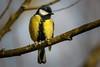 071.jpg (Kico Lopez) Tags: miño lugo aves feeder rio birds parusmajor galicia carbonerocomún spain