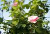 L1018885c (haru__q) Tags: leica m8 leicam8 minolta rokkor rose バラ 薔薇 flower 花