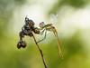 ensoñación odonática (Santi BF) Tags: sympetrumfonscolombii sympetrum libélula libèl·lula dragonfly odonato odonata aproximación anisóptero anisoptera