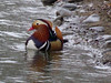 Mandarin Duck (Explored 01/17/2018) (timber1212) Tags: elkgroveregionalpark mandarinduck drake stunning colorful