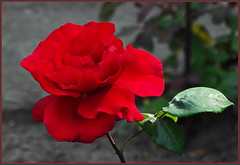 Rose ... unsere heutige Farbe in NRW ... (Kindergartenkinder) Tags: rose gruga park nrw
