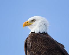 """Bald Eagle (dennis_plank_nature_photography) Tags: accipiterstriatus baldeagle haliaeetusleucocephalus tulelake ca california eagle kbnwr klamath or oregon """"klamathbasinnationalwildliferefuges"""""""