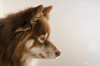 softly lit 3/52 (sure2talk) Tags: tasku finnishlapphund profile portrait nikond7000 nikkor85mmf35gafsedvrmicro flash speedlight sb900 offcamera diffused bounced softbox reflector we21012018 52weeksfordogs 352