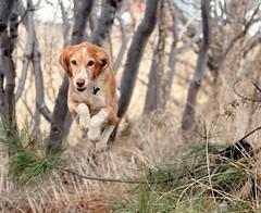 8/52 Weeks for Skye (ginam6p) Tags: nikon skye toronto jump hound 2018 52weeksfordogs dog