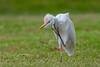 Cattle Egret (7D744316-1) (Eric SF) Tags: cattleegret egret oahu hawaii