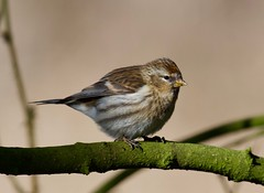 Redpoll (Female) - Taken at Sywell Country Park, Sywell, Northamptonshire. UK (Ian J Hicks) Tags: