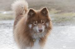mucky pup (sure2talk) Tags: tasku finnishlapphund muckypup mud splattered wet puddles newforest nikond7000 nikkor70300mmf4556afsifedvr explore