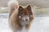 mucky pup (sure2talk) Tags: tasku finnishlapphund muckypup mud splattered wet puddles newforest nikond7000 nikkor70300mmf4556afsifedvr