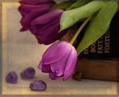 Amethyst (maureen bracewell) Tags: flowers stilllife tulips purple frame maureenbracewell texture cannon nature spring amethyst closeup