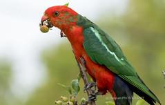 Australian King Parrot (@ChangLam PHOTOGRAPHY) Tags: bird australianbird parrot kingparrot australiankingparrot blistersscapulars changlamphotography