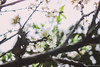 IMG_1622 (Haru2212) Tags: flower flora apricot winter canon nature canon450d natural naturalbeauty magic blend blossoms cây cherry sunday landscape ngoàitrời green lightroom vietnam life